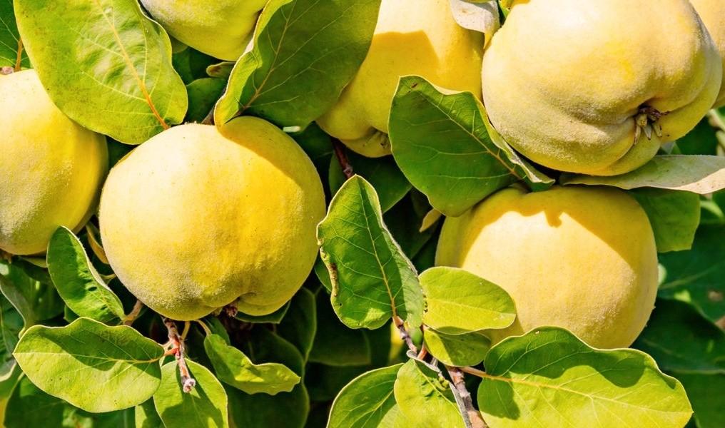 Bild zum Beitrag 'Quitte: Frucht mit großer Wirkung'