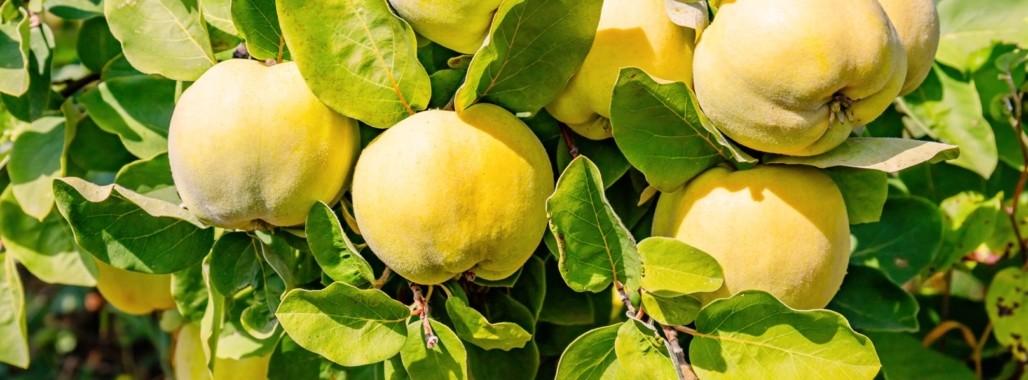 Bild zum Thema'Quitte: Frucht mit großer Wirkung'