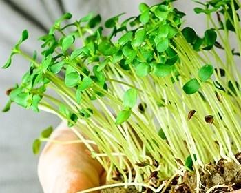 Bild zum Beitrag 'Microgreens: Kleine Powerpakete von der Fensterbank'