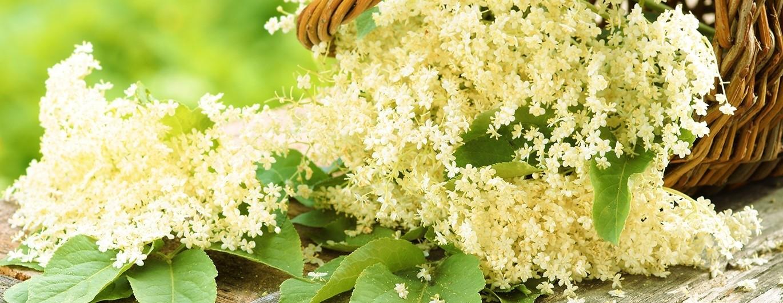Bild zum Beitrag 'Lecker und gesund: Jetzt ist die Zeit der Holunderblüten'